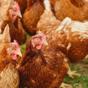 flock-of-hens-on-green-field-2255459